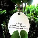 Pflanzenschild Ginkgo